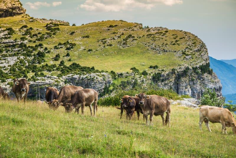 Vacas nas montanhas - pyrenees, Espanha fotografia de stock royalty free