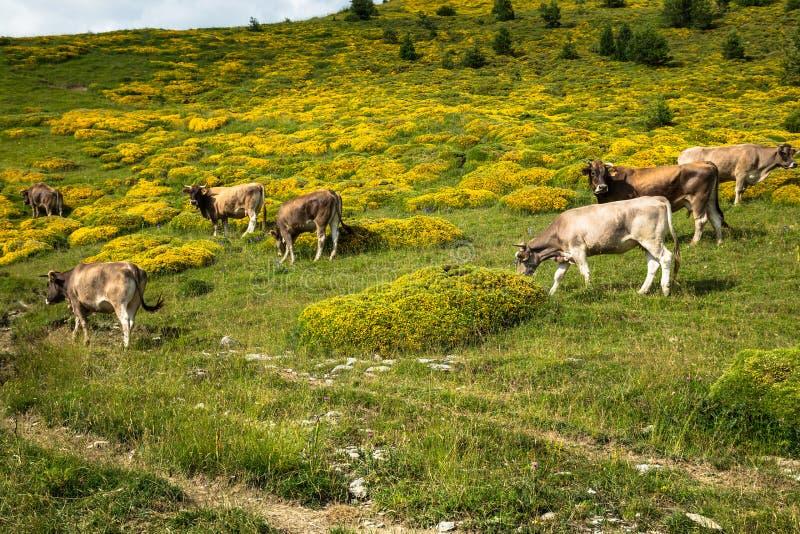 Vacas nas montanhas - pyrenees, Espanha foto de stock royalty free