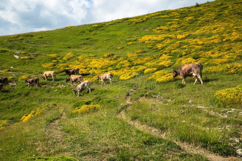 Vacas nas montanhas - pyrenees, Espanha imagem de stock royalty free
