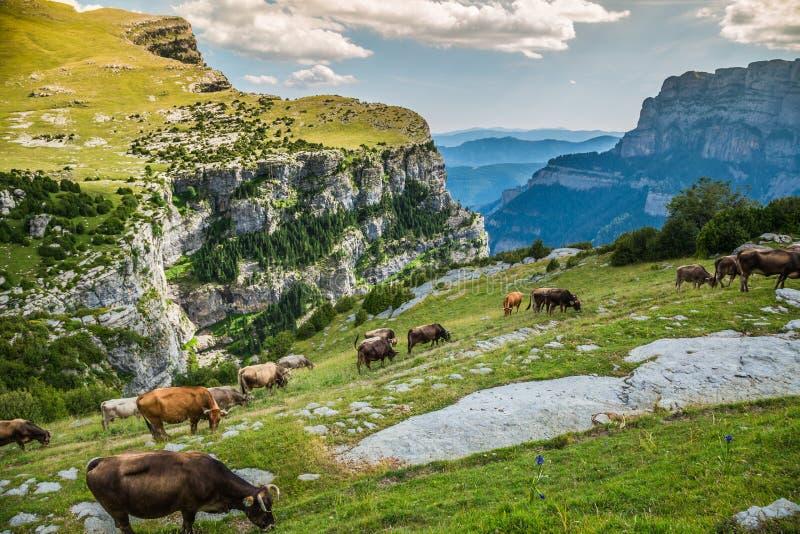 Vacas nas montanhas - pyrenees, Espanha fotografia de stock