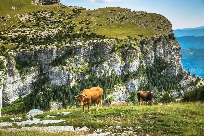 Vacas nas montanhas - pyrenees, Espanha imagens de stock royalty free