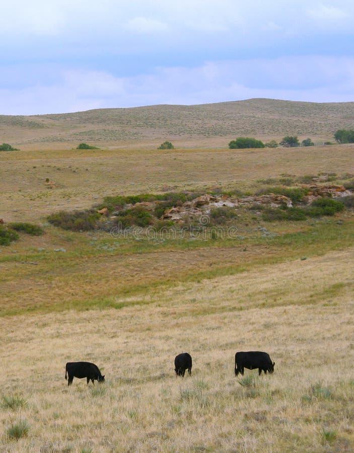 Vacas negras de Angus que pastan. imagen de archivo