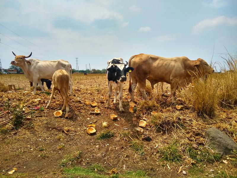 Vacas no campo de grama foto de stock royalty free