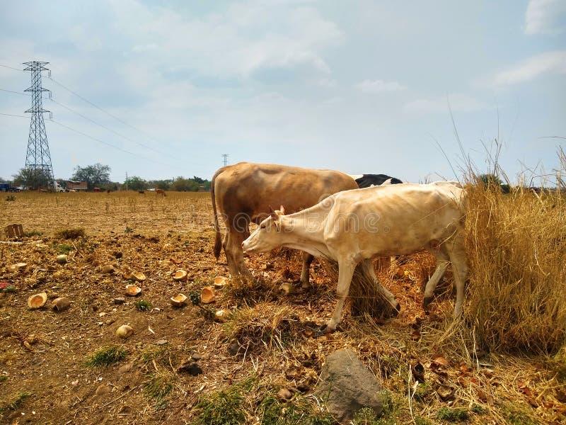 Vacas no campo de grama fotos de stock royalty free