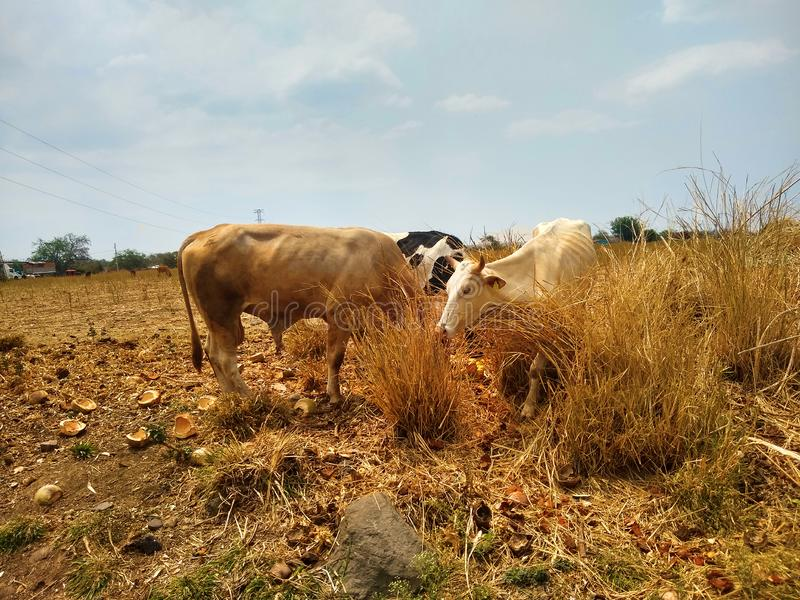 Vacas no campo de grama imagens de stock royalty free