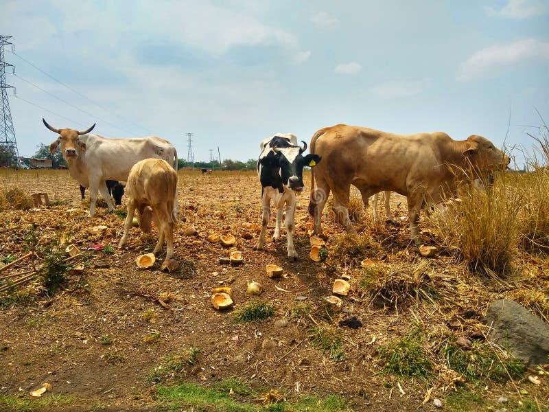 Vacas no campo de grama foto de stock