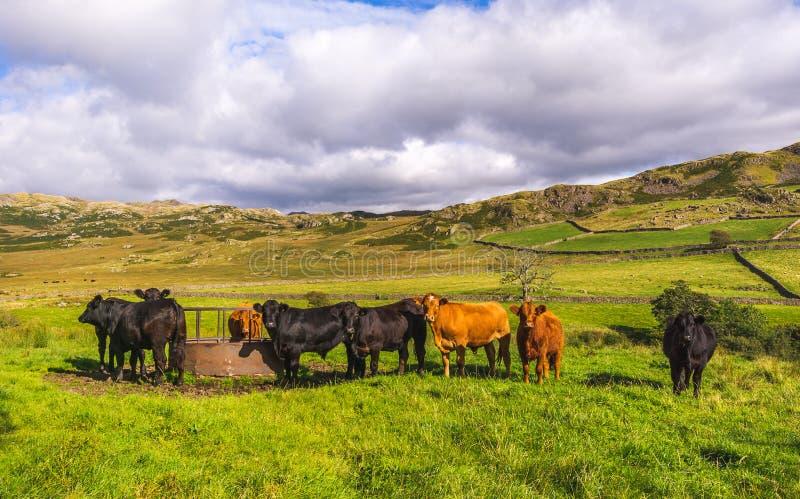 Vacas no distrito do lago imagem de stock
