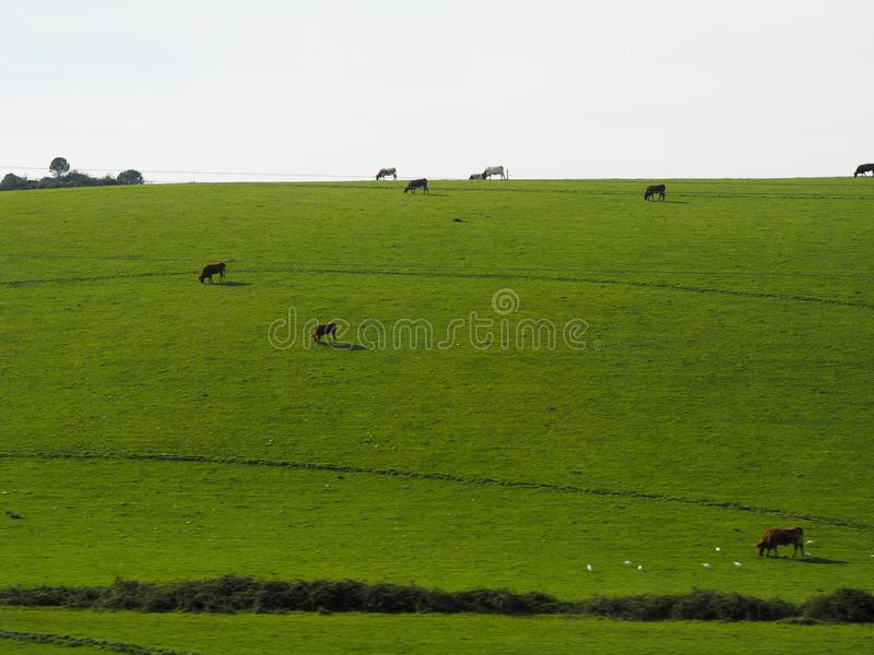 Vacas no medow verde imagem de stock royalty free