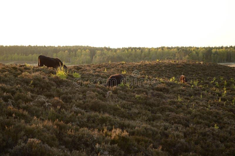 Vacas no monte imagem de stock royalty free