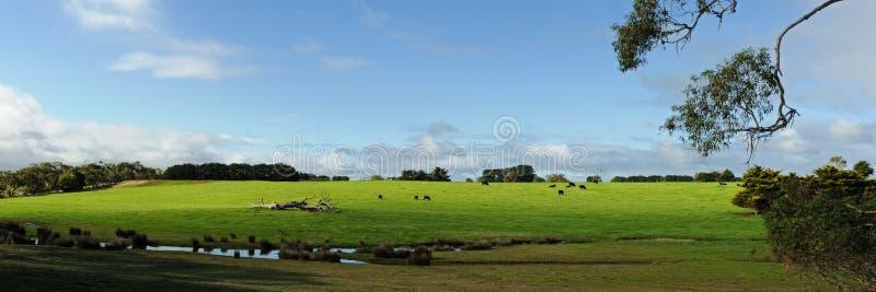 Vacas no monte verde fotos de stock