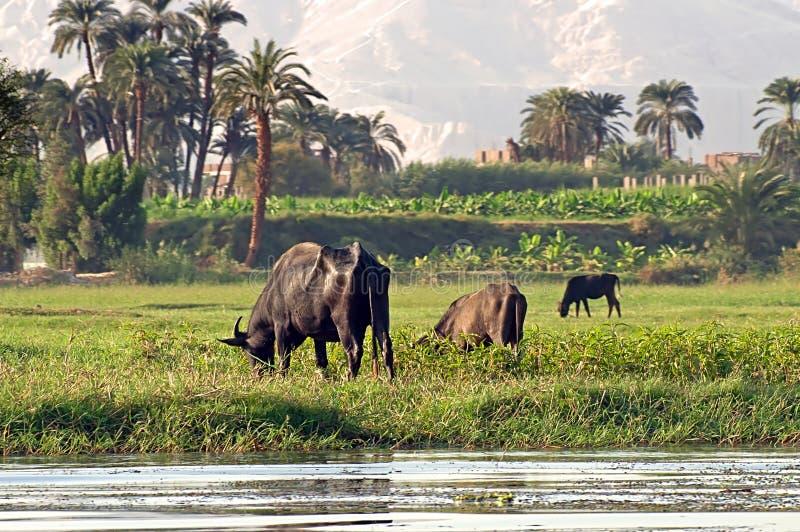 Vacas no Nilo do banco de rio em Egito fotografia de stock royalty free
