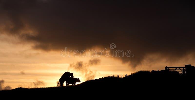 Vacas no por do sol foto de stock royalty free