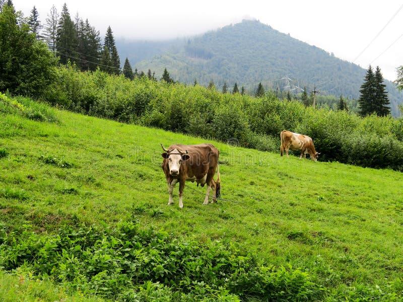 Vacas no prado da montanha foto de stock