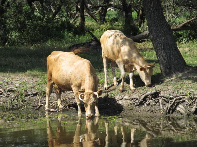 Vacas no rio foto de stock royalty free