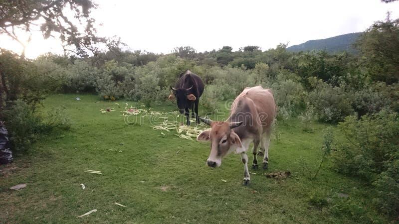 Vacas no selvagem fotografia de stock