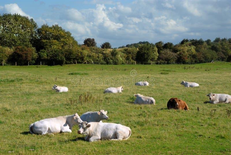 Vacas normandas fotografía de archivo