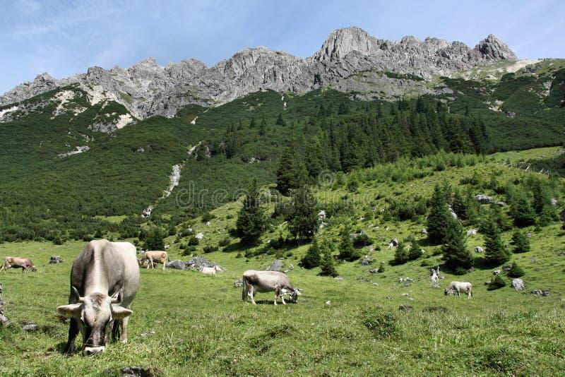 Vacas nos alpes imagem de stock