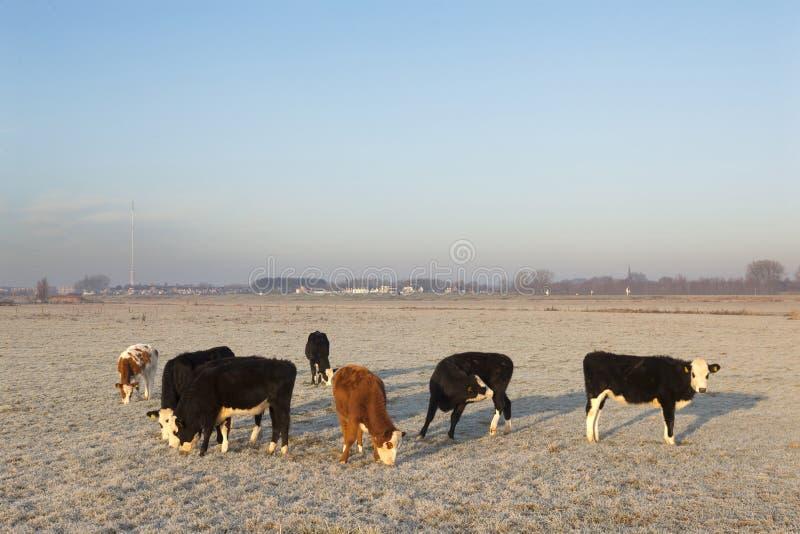 Vacas novas no prado invernal nas zona sujeitas a inundações de leks do rio próximo através de imagem de stock royalty free