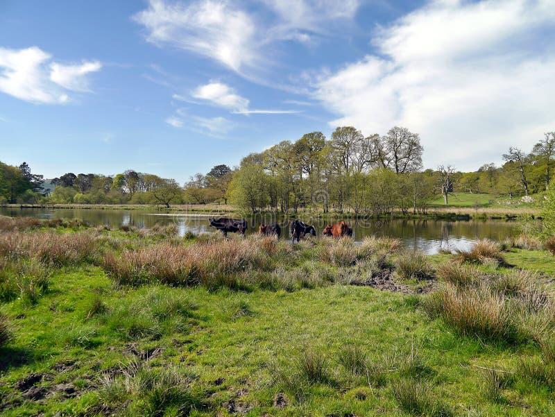 Vacas pela borda de Windermere do lago, distrito do lago fotografia de stock royalty free