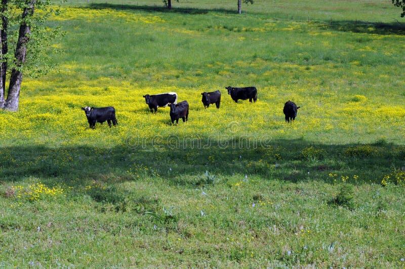 Download Vacas pretas foto de stock. Imagem de vacas, grama, criatura - 16862348