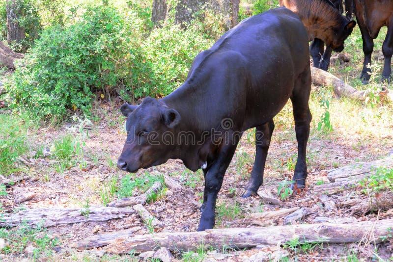 Vacas pretas que vagueiam em um rancho com grama e árvores fotos de stock