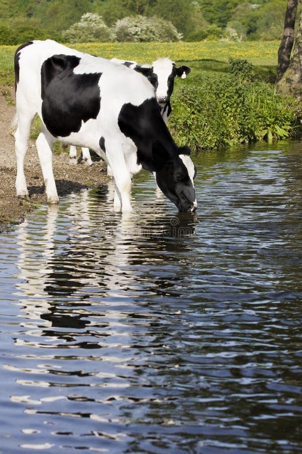 Vacas preto e branco imagem de stock