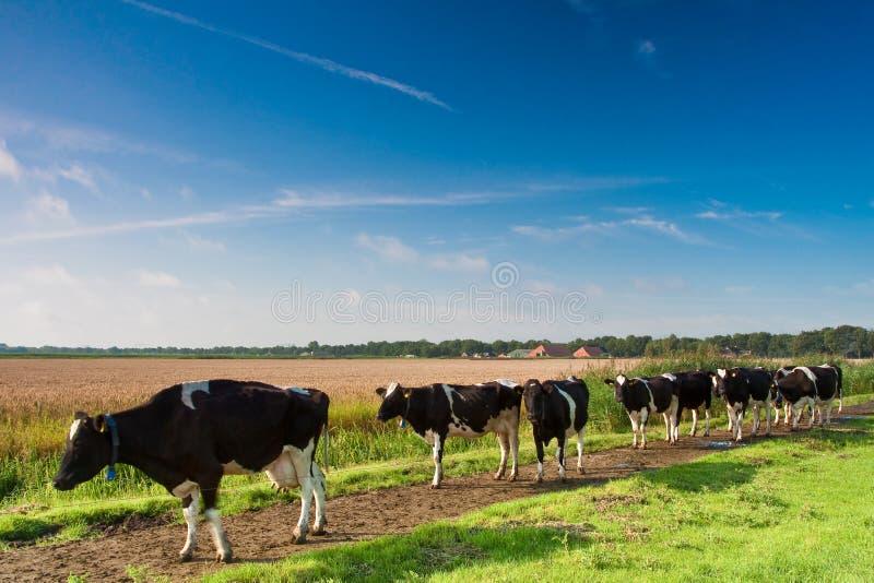 Vacas que andam para uma pastagem da exploração agrícola imagens de stock