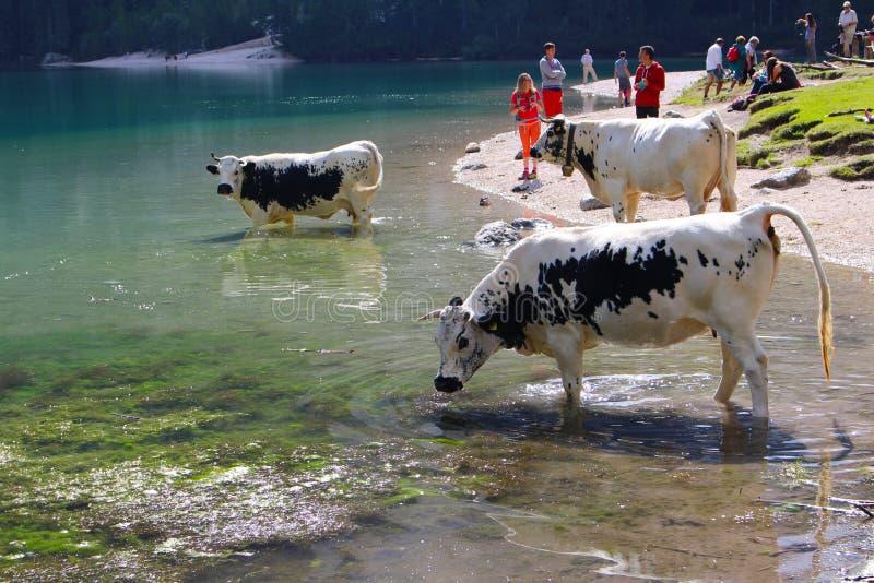 Vacas que bebem nas águas do lago Braies Lago di Braies, dolomites, Itália imagem de stock royalty free