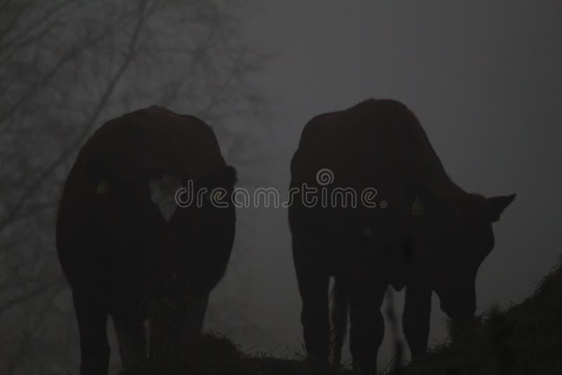 Vacas que comen en un fondo grueso del gris de la niebla imagen de archivo libre de regalías