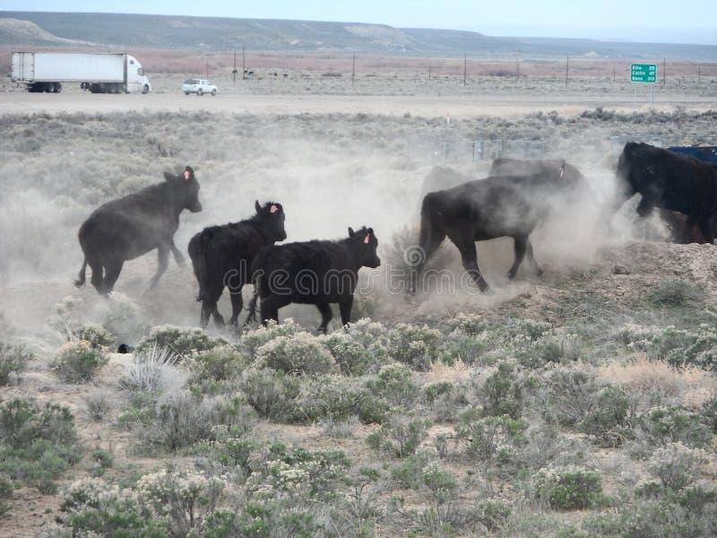 Vacas que correm afastado e que agitam a poeira fotografia de stock royalty free