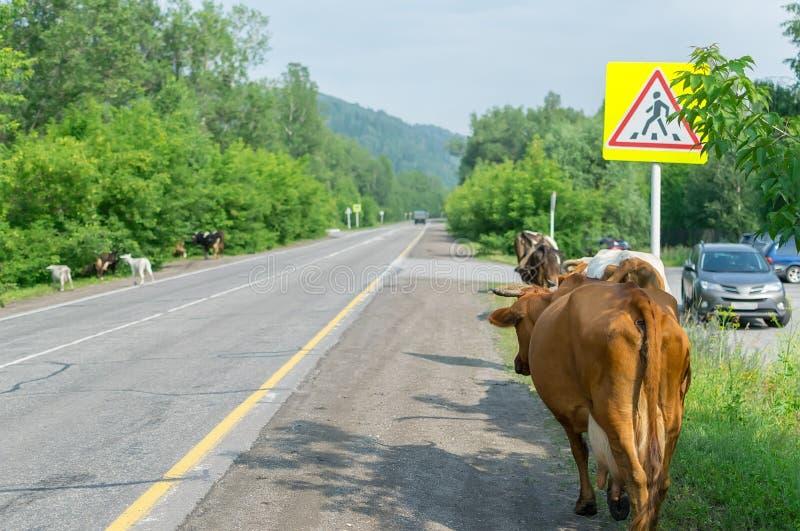 Vacas que cruzam a estrada, perigo aos carros foto de stock