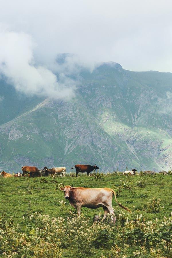 Vacas que cultivam no verão alpino do vale verde das montanhas imagem de stock royalty free