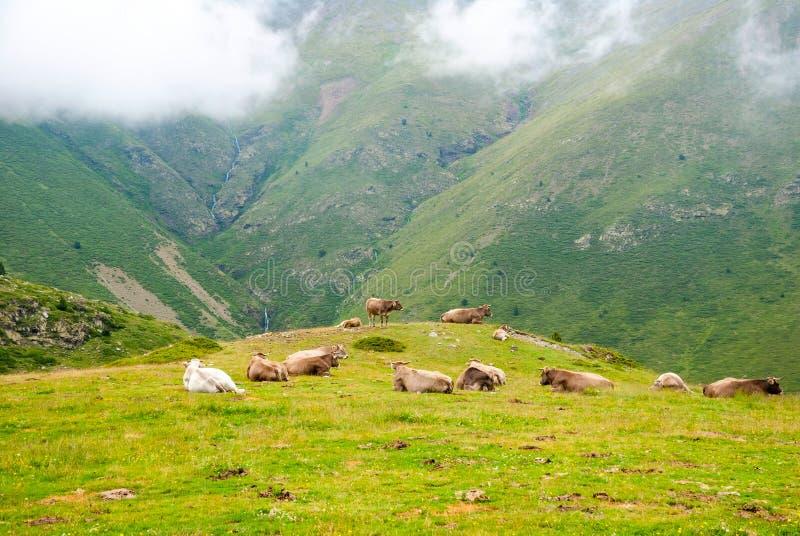 Vacas que descansam nas montanhas em Pyrenees imagem de stock