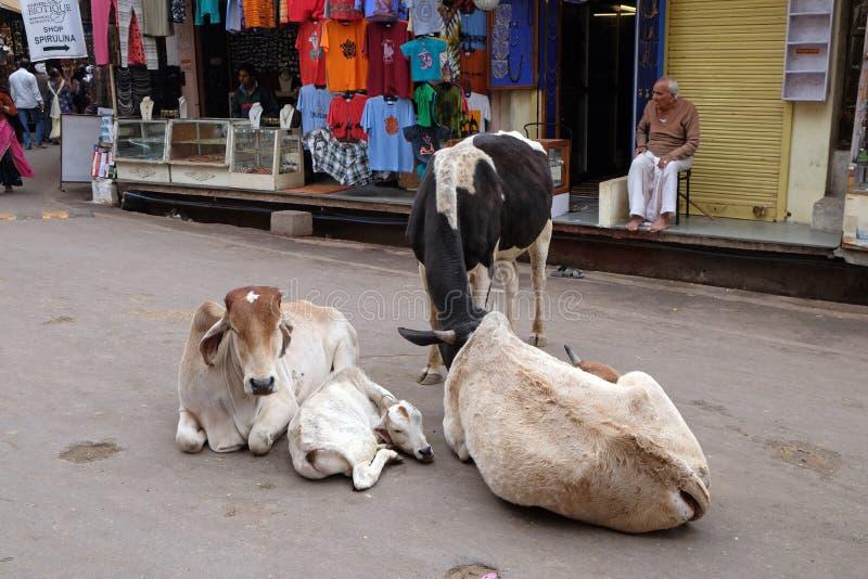 Vacas que descansan en el medio de la calle en Pushkar, la India foto de archivo libre de regalías
