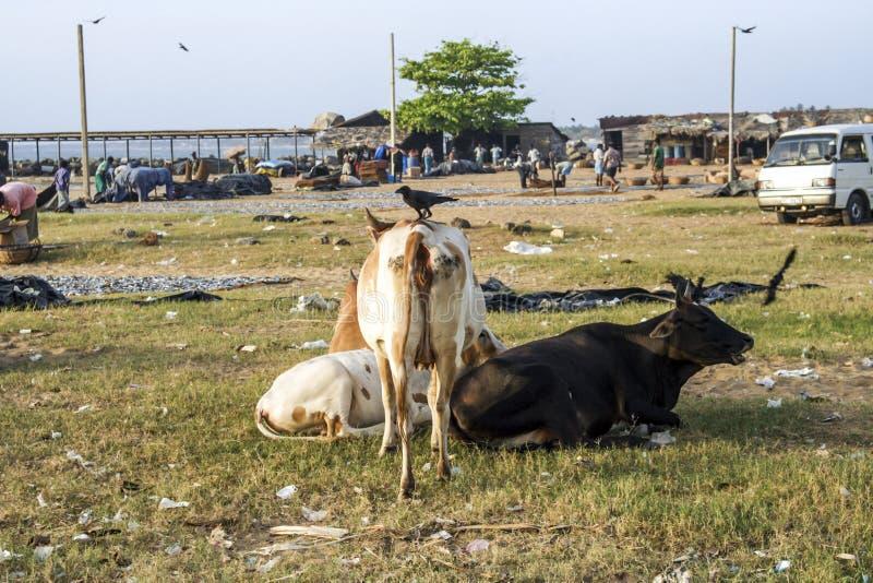 Vacas que descansan en la playa del negombo, Sri Lanka foto de archivo