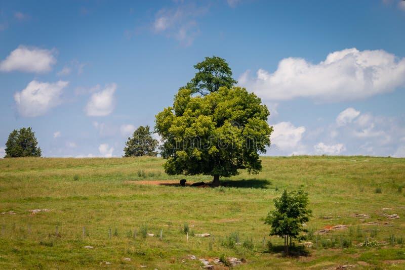 Vacas que descansan en la sombra imágenes de archivo libres de regalías