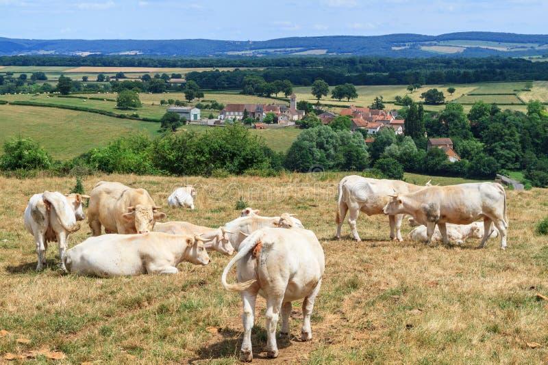 Vacas que descansan en un campo en Borgoña imagen de archivo