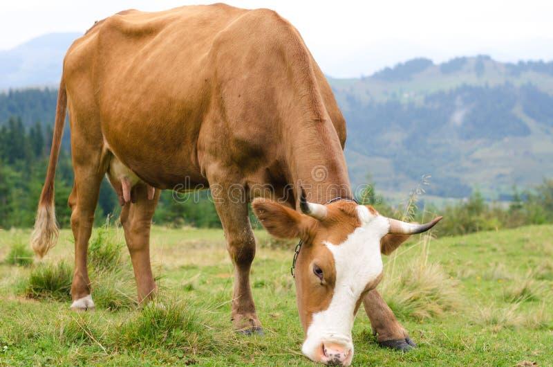 Vacas que estão no campo verde com montanhas e que comem a grama Fundo de Carpathians fotos de stock royalty free