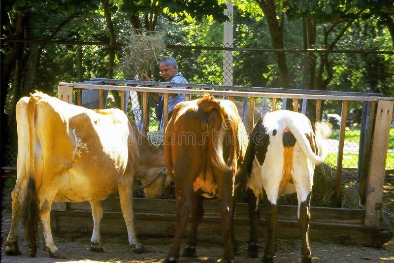 Vacas Que Introducen Imágenes de archivo libres de regalías