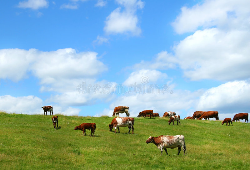 Vacas que pastam imagens de stock