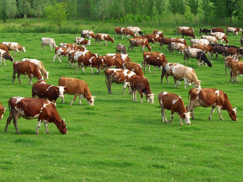 Vacas que pastam fotografia de stock