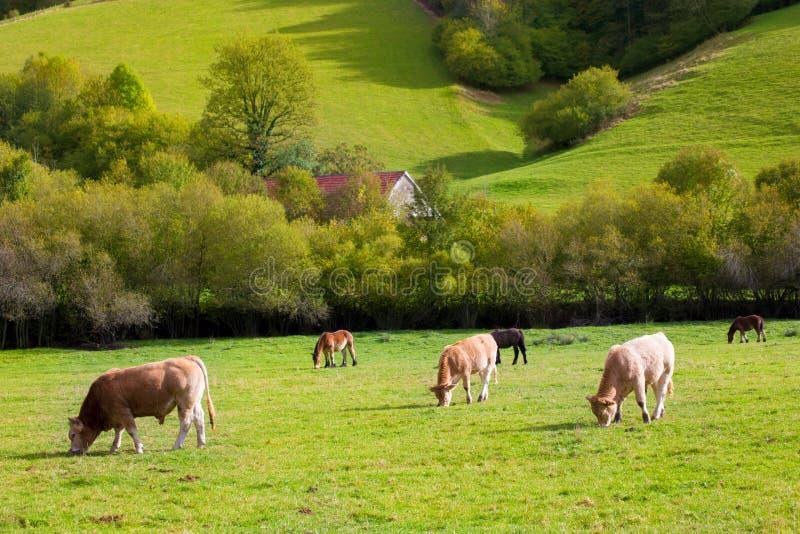 Vacas que pastam em prados verdes do outono de Pyrenees na Espanha fotografia de stock royalty free