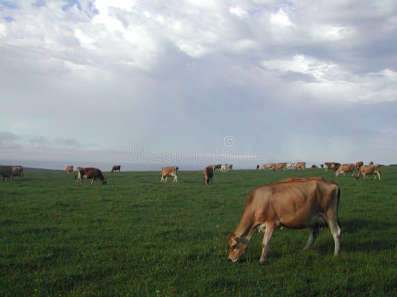 Vacas que pastam no campo fotografia de stock