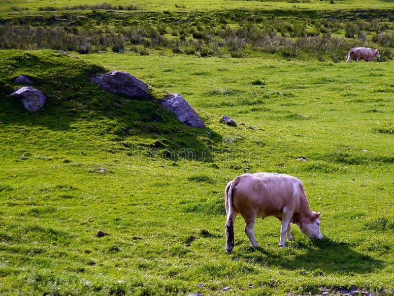 Vacas que pastam no campo fotos de stock royalty free