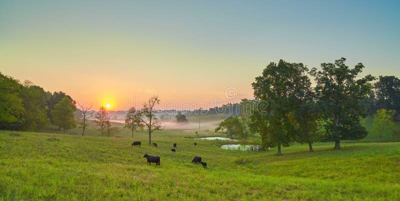 Vacas que pastam no nascer do sol fotografia de stock