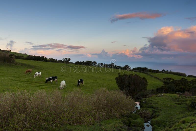 Vacas que pastam no por do sol imagens de stock