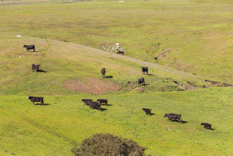 Vacas que pastam no prado montanhoso fresco perto de San Simeon fotografia de stock
