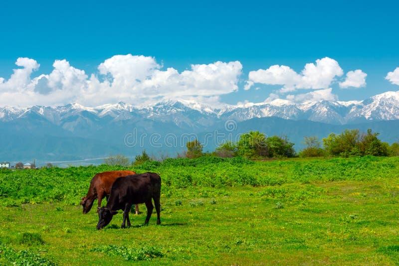 Vacas que pastam no prado verde nas montanhas imagem de stock royalty free