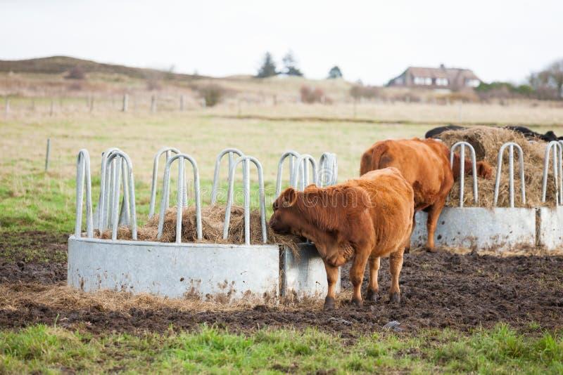 Vacas que pastam no rancho foto de stock