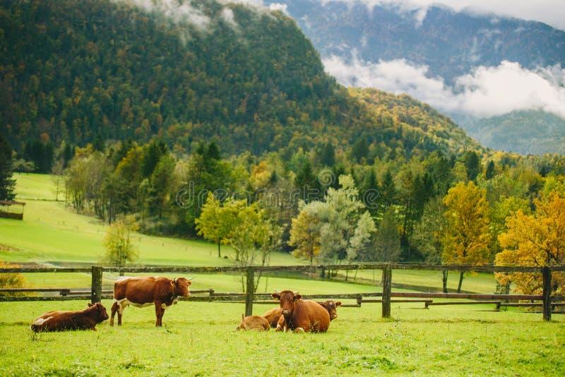 Vacas que pastam Prado bonito da grama verde com a cerca de madeira nos cumes imagens de stock